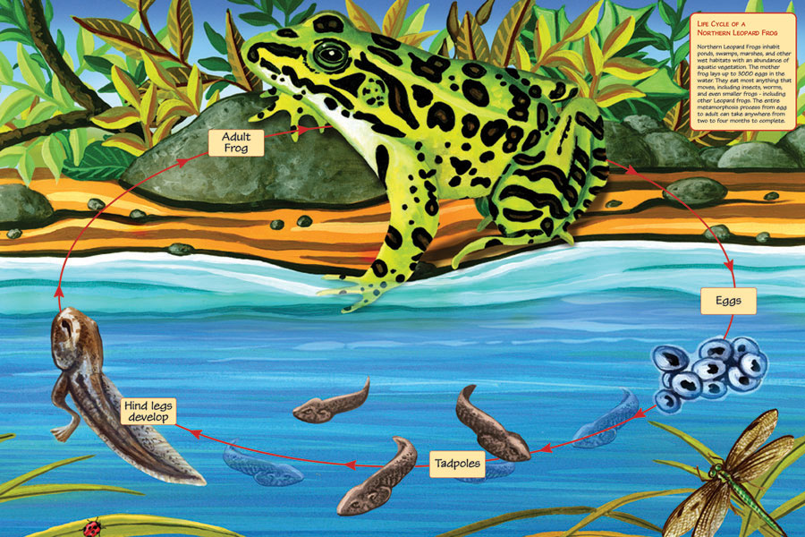 Life Cycle of a Northern Leopard Frog - 24 x 36 Floor Puzzle